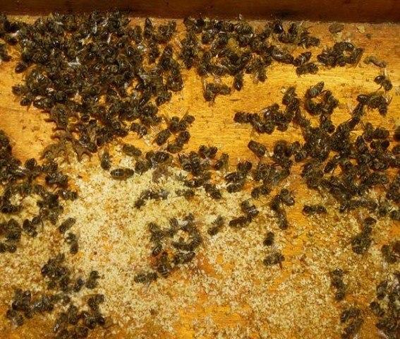 Пчелиный подмор - применение