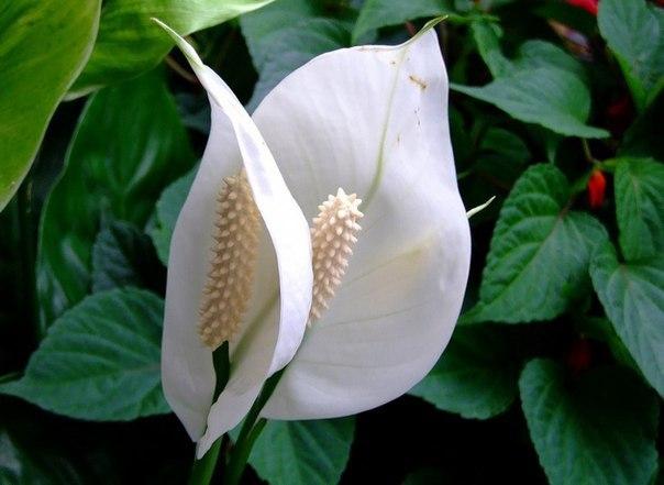 10 растений, которые принесут в ваш дом любовь, семейную гармонию и счастье